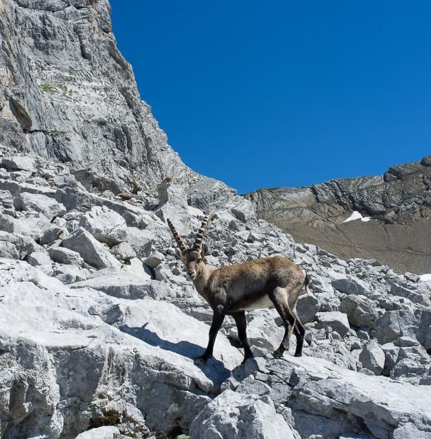 Randonnées guidées animaux de la montagne