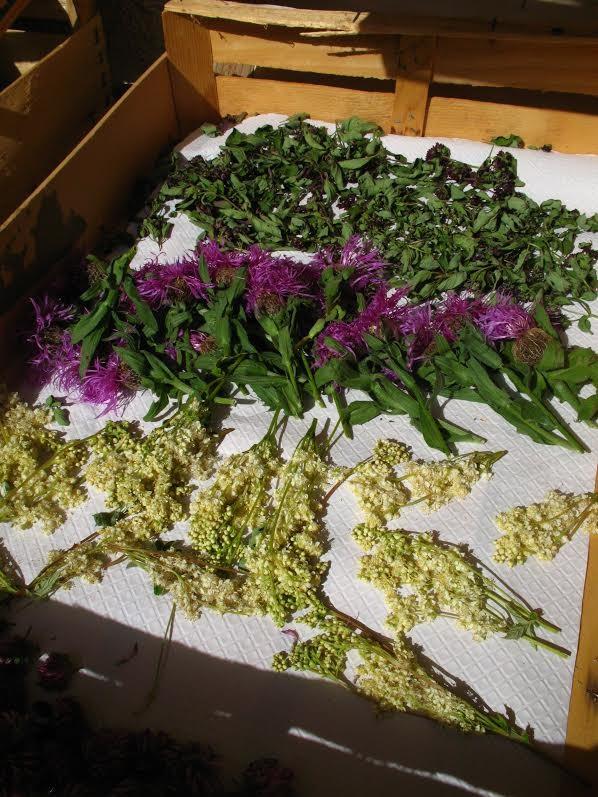 Séchage plantes culinaires